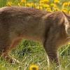 Американський очеретяний кіт: опис породи і особливості утримання в домашніх умовах