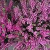 Квітка верес в домашніх умовах: вирощування, догляд, розмноження і цілющі властивості