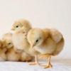 Вивчаємо домашніх тварин: загадка про курчаті