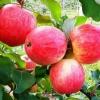 Яблуня Мрія: секрети вирощування