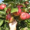 """Яблуня """"насолода"""": опис, фото, відгуки"""