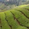 Який найсмачніший чай і корисний? Назва, види та відгуки