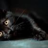 Кішка чорна. Порода: назви і особливості