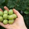 Агрус: калорійність і корисні властивості