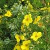 Перстач чагарникова: догляд і вирощування. Ради садівникам