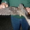 Птах козодой звичайний: ареал проживання, опис