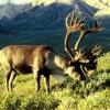 Роги оленя (фото). Навіщо оленеві роги? Коли олені скидають роги?