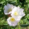 Роза травнева (шипшина): опис, фото