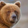 Скільки важить ведмідь в середньому? Який ведмідь найбільший? Хто більше - бурий або білий ведмідь?
