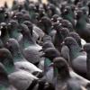 Виставка голубів у Москві (2015)